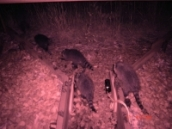 Night time infrared picture of a family of raccoons utilizing a wildlife crossing
